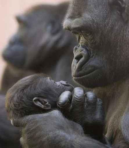 Slike životinja - Page 2 Mother-gorilla